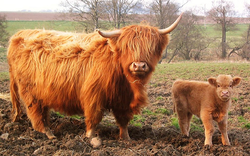 Fergus Highland cattle